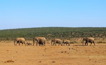 Elefantes (1)